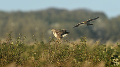 Buzz Off (Bronze Heron) Tags: buzzard kestrel mobbing