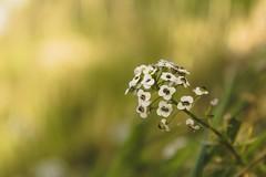 flower (.S_o_h_a_i_b.) Tags: canon eos 100 100d rebelsl1 kissx7 al algeria algérie flower nature beautyinnature macro green kabylie