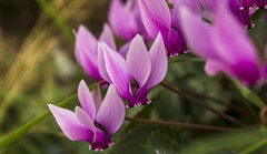 azedjigh (.S_o_h_a_i_b.) Tags: canon eos 100d rebelsl1 kissx7 kabylie algeria algérie flower fleur nature beautyinnature