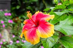 Hibiscus (Ralph Apeldoorn) Tags: bloem flower hibiscus vlindertuin vlindorado waarland noordholland nederland