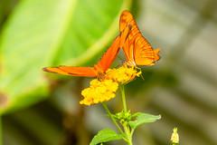 Oranje passiebloemvlinder (Ralph Apeldoorn) Tags: butterfly dryasiulia oranjepassiebloemvlinder vlinder vlindertuin vlindorado waarland noordholland nederland