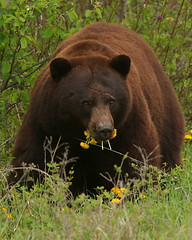 Waterton Lakes National Park bear (mannyh808) Tags: ursidae bear alberta canada watertonlakes waterton lakes national park