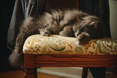 Rest, Relax and Repeat (flashfix) Tags: november052019 2019inphotos flashfix flashfixphotography ottawa ontario canada nikond7100 40mm kitty nose fyero nebelung ragamuffin ragdoll fluffy gray cat light natural napping sleepy lazy
