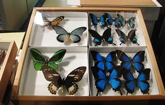 Family Papilionidae --  Birdwing and Swallowtail butterflies from southeast Asia 2524 (2) (Tangled Bank) Tags: palm beach county florida family papilionidae birdwing swallowtail butterflies from southeast asia 2524 2 insect lepidoptera butterfly collection cabinet