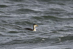 horned grebe (material guy) Tags: hornedgrebe laudholmfarm wells maine