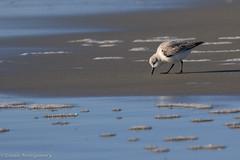 767A4932 (LindaSC) Tags: sanderling