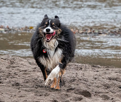 The Defendent Would Like To Plead Not Guilty By Reason Of Insanity (jayvan) Tags: troutdale oregon fall dash aussie australianshepherd happy river water wet crazed
