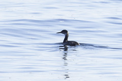 red-necked grebe (material guy) Tags: redneckedgrebe biddefordpool biddeford maine eastpointsanctuary