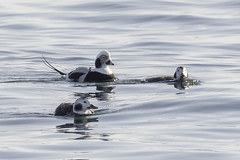longtail ducks (material guy) Tags: longtailduck biddefordpool biddeford maine