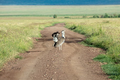 Kori Bustard in the Road, Ngorongoro Crater (Jill Clardy) Tags: africa tanzania vantagetravel safari 201902219l8a8939 kori bustard road crater ngorogoro preening male track trail bird mating