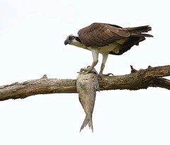 Fish in a Tree (Slow Turning) Tags: pandionhaliaetus osprey bird perched tree branch eating feeding food prey fish summer southernontario canada
