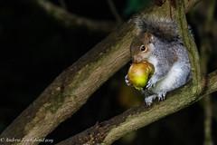Eastern gray squirrel - Sciurus carolinensis (Andy Pandy Pooh) Tags: sciurus carolinensis greysquirrel