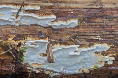 Kuusekorgik; Antrodia serialis; rivikääpä (urmas ojango) Tags: seened fungi polyporales torikulaadsed fomitopsidaceae antrodia korgik kuusekorgik antrodiaserialis rivikääpä