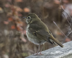 hermit thrush (material guy) Tags: hermitthrush laudholmfarm wells maine