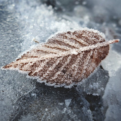 day 308 (Randomographer) Tags: project365 nature leaf frozen frost cold winter crystal plant natural organic 2019 365 308 wonder delicate fragile breakable frail ice withered