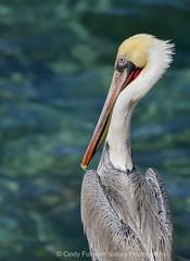Glamour Pose (CindyFullwiler Nature Photography) Tags: la jolla brown pelicans coastal rocks colonies large birds san diego
