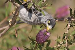 Noisy Miner (Luke6876) Tags: noisyminer honeyeater bird animal wildlife australianwildlife nature bottlebrush callistemon wildflower