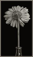 Flowers #13 2019; Daisy (hamsiksa) Tags: plants flora flowers blooms blossoms cutflowers horticulture ornamentals stilllife stilllifes blackwhite studio studiophotography botanicals