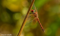 Time for a rest (Photosuze) Tags: dragonflies redrockskimmers skimmers insects nature wildlife animals