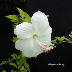 Hibisco/Hibiscus/Cayena (Altagracia Aristy Sánchez) Tags: hibisco hibiscus cayena laromana