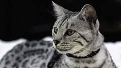 Chat Bengal Silver (richard.hebert68) Tags: sony a7riv 24240mm bengal chatbengal