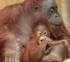 orangutan Minggu and Tjintha Ouwehand BB2A1294 (j.a.kok) Tags: animal asia aap azie ape mammal monkey mensaap primate primaat zoogdier dier ouwehands orangutan orangoetan ouwehandsdierenpark orang ouwehand borneoorangutan borneoorangoetan minggu tjintha motherandchild moederenkind