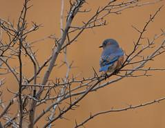 Eastern Bluebird (scott5024) Tags: orland grassland eastern bluebird birds birding prairie autumn wildlife blue brown nikon d500 600mm lens