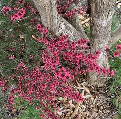 Leptospermum scoparium... (The Pocket Rocket) Tags: leptospermumscoparium manukamyrtletree oceangrove victoria australia 100flowers2019 image85100