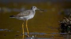 Greater Yellowlegs  8770 (Paul McGoveran) Tags: bird nature nikon500mmf4 nikond850 norfolkcounty portdover shorebird silverlake wings greater yellowlegs coth5