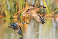 Waving Hi (gseloff) Tags: bluewingedteal bird duck flight bif water reflection reeds nature wildlife pond brazorianationalwildliferefuge texas gseloff