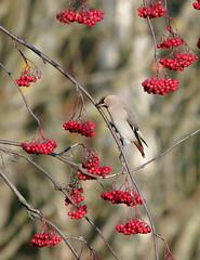 Abundance (Wanha-Erkki, Old Eric, Gammal Erik) Tags: rowanberries waxwing tilhi