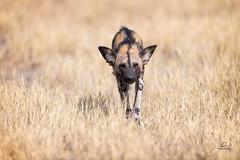 Threat Assessment (Glatz Nature Photography) Tags: africa botswana glatznaturephotography khwaicamp nature nikond850 wildanimal wildlife africanwilddog lycaonpictus paintedwolf alphamale predator eyecontact okavangodelta okavango