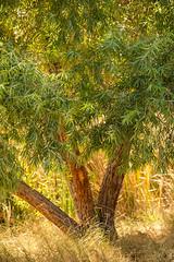 Pacific Willow (wyojones) Tags: california tuleelkstatenaturalreserve kerncounty sanjoaquinvalley tupman tree pacificwillow salixlucidalasiandra leaves bark light