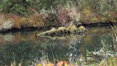 _DSC5869 (4) Reflections (Allen Woosley) Tags: river julia butler hanson nwr tide waters elochoman reflections water wet