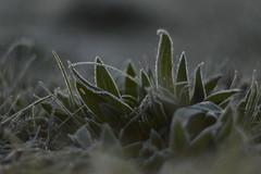 November (cнαт-ɴoιr^^) Tags: 1330867 geburtstag burzeltag berti eulenbilder novemberkind frost nature outside flora gras raureif hoarfrost