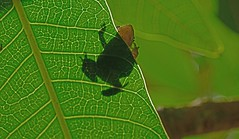 Udaipur Monsoon Frog DSC_6219 (JKIESECKER) Tags: frogs wildlife wildlifeviewing wildlifeportrait animals animalportrait animalbehavior green amphibians monsoon india rajasthan udaipur