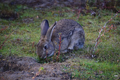 Rabbit - Rathtrevor Beach Provincial Park (SonjaPetersonPh♡tography) Tags: parksville rathtrevor beach provincial parkrathtrevor beachwest coastvancouver islandpacific northwestcoastalbcbritish columbiacanadaprovincial parkwildliferabbitsnaturetrailsnikonnikon d5300afs dx nikkor 18300mm f3563g ed vrcommunityresortscampingparkoutdoorslandscapestrait georgia swimming walking