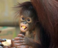 orangutan Minggu Ouwehand BB2A1229 (j.a.kok) Tags: animal asia aap azie ape mammal monkey mensaap primate primaat zoogdier dier ouwehands orangutan orangoetan ouwehandsdierenpark orang ouwehand borneoorangutan borneoorangoetan minggu tjintha