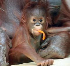 orangutan Minggu Ouwehand BB2A1307 (j.a.kok) Tags: animal asia aap azie ape mammal monkey mensaap primate primaat zoogdier dier ouwehands orangutan orangoetan ouwehandsdierenpark orang ouwehand borneoorangutan borneoorangoetan minggu tjintha