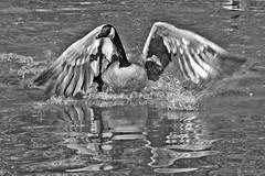 Canada Goose (Branta canadensis).  Rio Grande Nature Center, Albuquerque, New Mexico, USA. (cbrozek21) Tags: brantacanadensis canadagoose goose waterfawl blabkandwhite bw monochrome bird behavior bwartaward