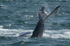 Humpback Whale Mother and Calf 502_1316.jpg (Mobile Lynn) Tags: marinemammals humpbackwhale whale nature fauna mammal mammals wildlife massachusetts unitedstatesofamerica