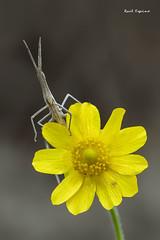 ¿Por donde sale el sol? (Raul Espino) Tags: 2019 canon100mml canon6dmarkii macro macrofotografia natural naturaleza sevilla truxalisnasuta insectos