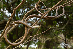 Thelotornis capensis capensis - Twig Snake. (ping.tyrone) Tags: thelotornis capensis twig snake snakes wild wildlife nature natural amazing cute beautiful canon 5dmiii 100mm f28 usm is l south africa southern african kwazulunatal animals ngc national wwwtyronepingcoza tyrone ping photography photo