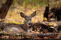 Chill Deer (Eric Tischler) Tags: deer lying relaxing ground woods ohio nature