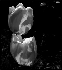 Tulipany B&W. (andrzejskałuba) Tags: poland polska pieszyce dolnyśląsk silesia sudety shadow europe plant plants roślina rośliny macro monochrome natura nature natural natureshot natureworld nikoncoolpixb500 naturephotographer nopeople beautiful beauty biały black beautyofnature cień czarny kwiat kwiaty flower flora floral flowers blackwhite bw white wiosna spring tulip tulipan tulipany tulips ogród garden outdoor day focusonforeground 100v10f 1000v40f 1500v60f