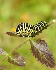 Swallowtail (Papilio machaon) caterpillar (eerokiuru) Tags: swallowtail papiliomachaon pääsusaba caterpillar röövik insect wildlife nature nikoncoolpixp900 p900 estonia eesti