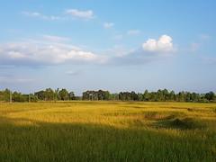 Lodging in rice paddies 2 (SierraSunrise) Tags: thailand phonphisai nongkhai isaan esarn plants frarming agriculture lodging rice ricepaddy ricepaddies paddyrice grain poaceae