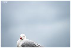 A Bird (red stilletto) Tags: geelong bellarinepeninsula geelongwaterfront bird birds seagull famousflickrfive fuji fujixt20 silvergull