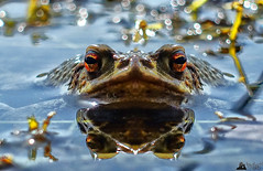 Kiss Me! (LeWelsch Photo) Tags: frog frosch grenouille bokeh decay putrefy foliage reed lake water eymatt wohlensee bern switzerland rx100m3 rx100iii lewelsch lewelschphoto swissphotographers