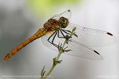 Dragonfly 1 (srkirad) Tags: animal insect dragonfly closeup macro dof depthoffield bokeh blur branch flower plant tip wings hair